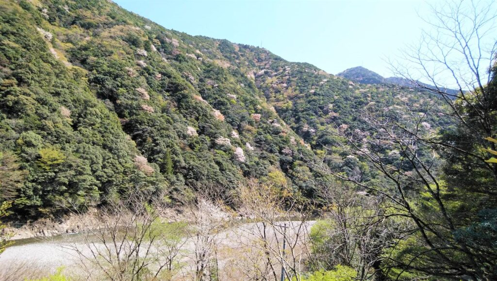 仙人ハウス前の山桜 2021.4.5撮影